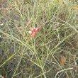 Cadaba aphylla habitat