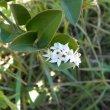 Carissa bispinosa flower
