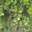 Carissa haematocarpa fl buds