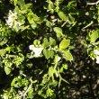 Carissa haematocarpa foliage