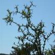 Carissa haematocarpa thorns