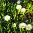 Carpobrotus edulis flowers