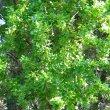 Catunaregum taylorii foliage