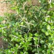 Catunaregum taylorii thorns