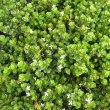 Chaetacanthus setiger flowers