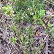 Chaetacanthus setiger form veld