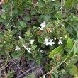 Chaetacanthus setiger flower veld