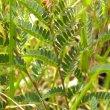 Chamaecrista capensis