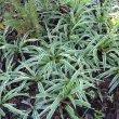 Chlorophytum comosum hybrid