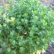 Chrysanthemoides monilifera young