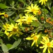 Chrysanthemoides monilifera