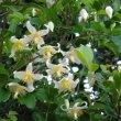 Clematis brachiata flower