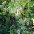 Clematis brachiata seed heads