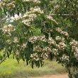 Clerodendrum glabrum foliage
