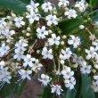 Clerodendrum glabrum flowers