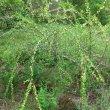 Coddia rudis bloom
