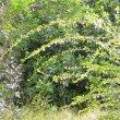 Coddia rudis branches