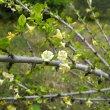 Coddia rudis flower