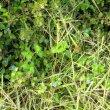 Commelina benghalensis habitat