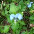 Commelina benghalensis flower