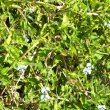 Commelina benghalensis foliage