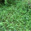 Commelina benghalensis mass