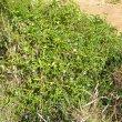 Commelina benghalensis invasive
