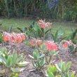 Cotyledon orbiculata var. orbiculata