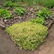 Crassula  pellucida soil hold