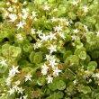 Crassula  pellucida flower