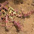 Crassula capitella subsp thyrsiflora