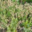 Crassula cordata flowers