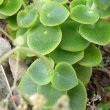 Crassula cordata young leaves