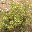 Crassula expansa subsp expansa