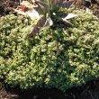 Crassula expansa subsp. fragilis