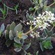 Crassula lactea leaf