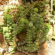 Crassula perforata Kirstenbosch