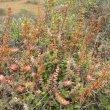 Crassula perforata Kwandwe habitat