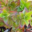 Crassula sarmentosa ssp. sarmentosa
