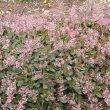 Crassula streyi flowers