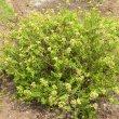Crassula tetragoma subsp. robusta