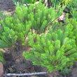 Crassula tetragona subsp. connivens