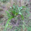 Crinum macowanii leaves