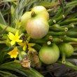 Crinum macowanii seeds