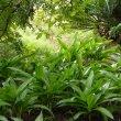 Crinum moorei foliage