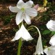 Crinum moorei flower
