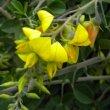 Crotalaria capensis flower