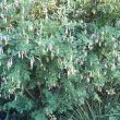 Crotalaria capensis pods