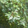 Cunonia capensis foliage