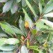 Cunonia capensis leaf.